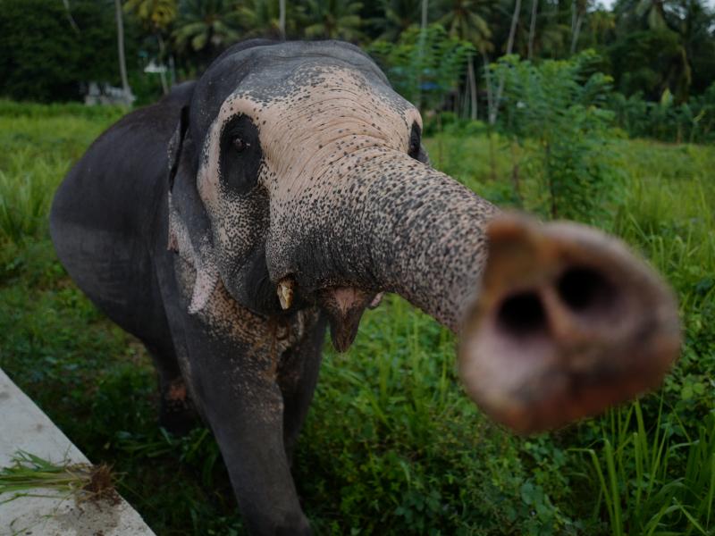 Eléphant du Sri Lanka à la Millenium Elephant Foundation