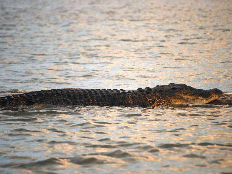 Crocodile dans le lac de Bolgoda au Sri Lanka