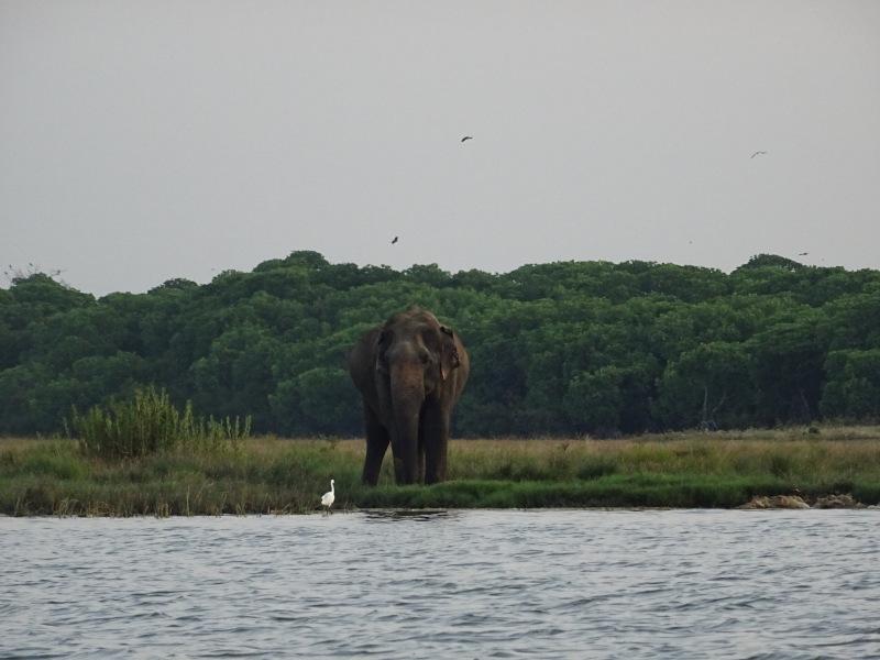 Eléphant sur la rive du lagon de Pottuvil au Sri Lanka