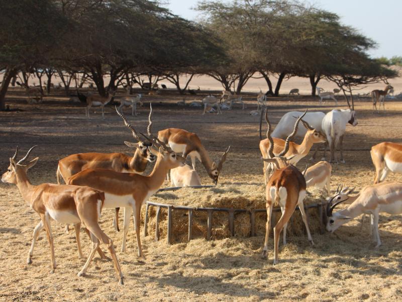 Oryx d'Arabie dans la réserve de sir bani yas island